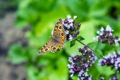 De Vlinder van weideargus op bloeiende orego stock afbeeldingen