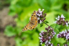 De Vlinder van weideargus op bloeiende orego royalty-vrije stock foto's