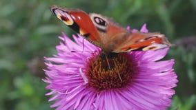 De vlinder verzamelt nectar op een roze bloem en vliegt weg stock videobeelden