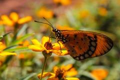 De vlinder voedt zich in mijn tuin Stock Foto's
