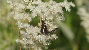 Is de vlinder Witte Admiraal (Limenitis Camilla) op de bloem van varen-blad dropwort stock videobeelden
