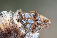 De vlinder zit op een bloem. Royalty-vrije Stock Afbeelding