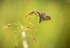 De vlinder zit op een droge installatie Stock Foto's