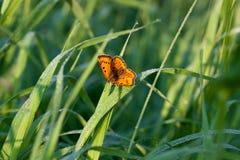 De vlinder zit op een groen gras Royalty-vrije Stock Foto's