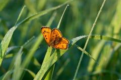 De vlinder zit op een groen gras Royalty-vrije Stock Afbeelding