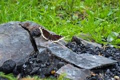 De vlinder zit op een steen, dichtbij de steenkolen, tegen de achtergrond van de brand Het concept de heropleving van aard na FI stock afbeelding