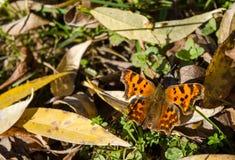 De vlinder zit op de herfstbladeren stock afbeeldingen