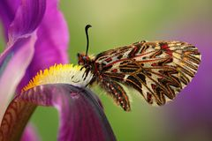 De Vlinder Zuidelijke Slinger van Nice, Zerynthia-polyxena, zuigende nectar van donkere violette irisbloem Stock Foto's