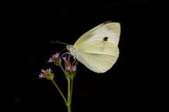 De vlinder zuigt een bloem Stock Afbeelding