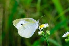 De vlinder zuigt een bloem Royalty-vrije Stock Foto