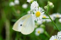 De vlinder zuigt een bloem Royalty-vrije Stock Foto's