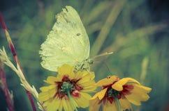 De vlinder zuigt een bloem Stock Afbeeldingen