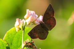 De vlinder zuigt honing van bloem Stock Foto