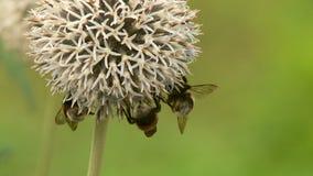 De vlinders en de bijen verzamelen nectar in de zomer stock videobeelden