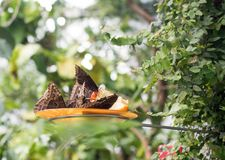 De vlinders eten in de voeder in het tropische bos stock afbeeldingen