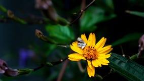 De vlinders nemen een zoete drank van de bloem royalty-vrije stock afbeeldingen