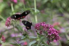 De Vlinders van Cattleheart Royalty-vrije Stock Foto's
