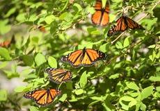 De Vlinders van de monarch Stock Foto's