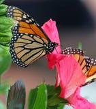 De Vlinders van de monarch Royalty-vrije Stock Afbeelding