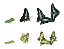 De Vlinders van Swallowtail van Pipevine Stock Foto's