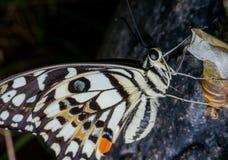 De vlinders zijn insecten die helpen bloemen bestuiven stock afbeelding