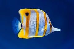 De vlindervissen van Copperband Royalty-vrije Stock Fotografie