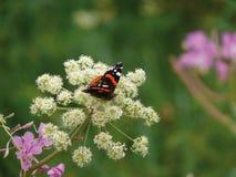 De vlinderzitting op een bloem. Royalty-vrije Stock Foto's