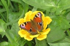 De de vlinderzitting van het pauwoog op een gele bloem op de groene achtergrond stock afbeelding