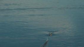 De vlotter daalt periodiek in het meer Er zijn het bijten stock video
