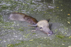 De vlotter van babybuffels binnen van vuil water Stock Afbeelding