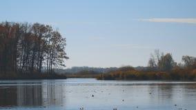 De vlotter van de herfstbladeren op water Meer of rivier met stil water in het de herfstseizoen stock footage
