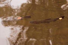 De vlotters van de rivierforel op de oppervlakte van het water royalty-vrije stock afbeelding