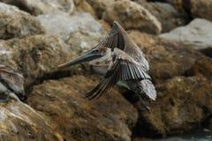 De Vlucht van de pelikaan Stock Afbeeldingen