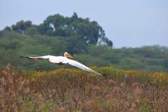 De vlucht van de pelikaan - Meer Naivasha (Kenia) Royalty-vrije Stock Foto's