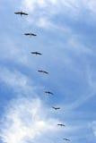 De vlucht van de pelikaan in vorming Royalty-vrije Stock Foto
