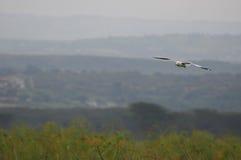 De vlucht van de zeemeeuw - Meer Naivasha (Kenia, Afrika) Stock Foto's