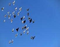 De vlucht van vogels op blauwe hemel Royalty-vrije Stock Afbeeldingen