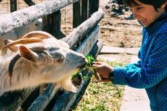 De voedende geit van de jongen Stock Foto's