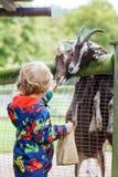 De voedende geiten van de jong geitjejongen op een dierlijk landbouwbedrijf Royalty-vrije Stock Fotografie