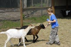 De voedende geiten van de jongen bij de dierentuin Stock Afbeeldingen
