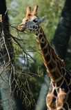 De voedende Giraf van Rothschild ` s in Chester Zoo Royalty-vrije Stock Fotografie