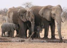De voedende jongelui van de Familie van de olifant Stock Foto