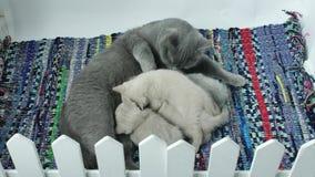 De voedende katjes van de mammakat stock video
