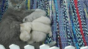 De voedende katjes van de mammakat stock videobeelden