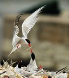 De voedende kuikens van de vogel in nest Royalty-vrije Stock Foto's