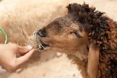 De voedende schapen van de hand door droog gras Stock Afbeelding
