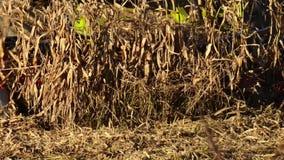 De voedselfabriek, Voedsel, cerea-Tractor dumpt tarwekorrels stock footage