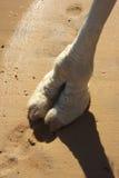 De voet van de kameel Stock Afbeeldingen