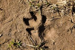 De voetafdruk van een grote hond` s poot op de aarde stock afbeeldingen