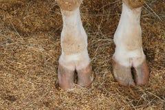 De voeten van de koehoef Stock Afbeeldingen